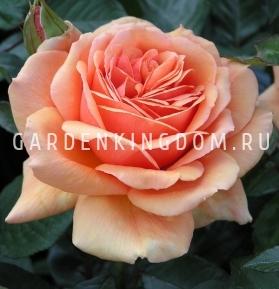 Роза чайно-гибридная ASHRAM