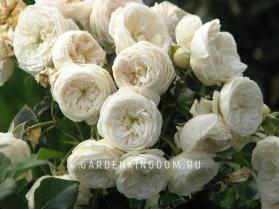 Роза парковая (грандифлора)  ARTEMIS