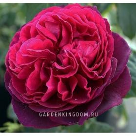 Роза парковая (грандифлора)  ASTRID GRAFIN VON HARDENBERG