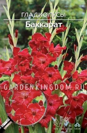 Гладиолус крупноцветковый БАККАРАТ, 7 шт.