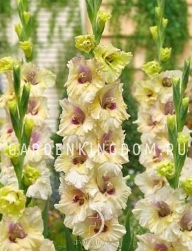 Гладиолус крупноцветковый ФЕНОМЕНАЛ, 7 шт.