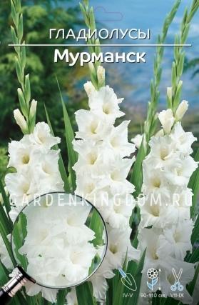 Гладиолус крупноцветковый МУРМАНСК, 5 шт.