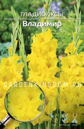 Гладиолус крупноцветковый ВЛАДИМИР, 5 шт.