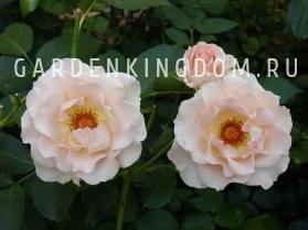Роза парковая (грандифлора)   ROKOKO