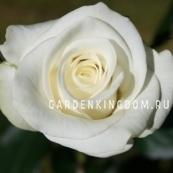 Роза чайно-гибридная ACITO