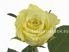 Роза чайно-гибридная VANILLA SKY