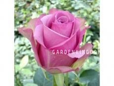 Роза чайно-гибридная COOL WATER
