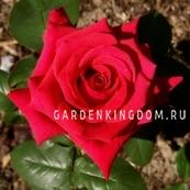 Роза чайно-гибридная NATIONAL TRUST