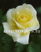 Роза чайно-гибридная ELINA