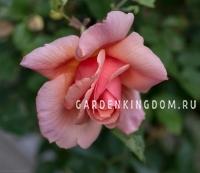 Роза чайно-гибридная FLAMINGO