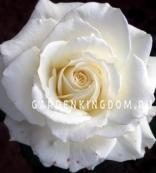 Роза чайно-гибридная MOUNTH CHASTA