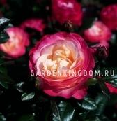 Роза чайно-гибридная NOSTALGIA