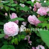 Роза чайно-гибридная OLIVIA