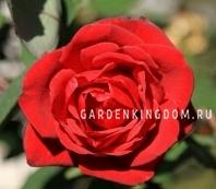 Роза чайно-гибридная GRAND GALA