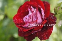 Роза чайно-гибридная ALLELUIA