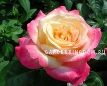 Роза чайно-гибридная ORIENT EXPRESS