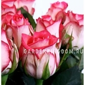Роза чайно-гибридная N-JOY