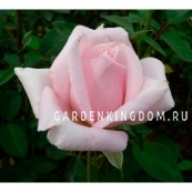 Роза чайно-гибридная MERHEN KENING