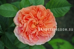Роза флорибунда CHIPPENDALE