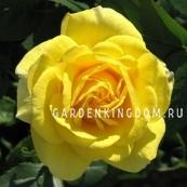 Роза флорибунда CARTE D'OR