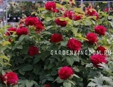 Роза флорибунда FEUERLAND