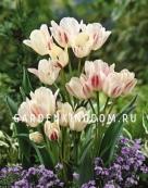 Тюльпан многоцветковый  CANDY CLUB, 10 шт