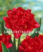 Тюльпан бахромчатый  FIERY DREAM, 10 шт