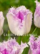 Тюльпан бахромчатый  OVIEDO, 10 шт