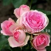 Роза миниатюрная MINI EDEN