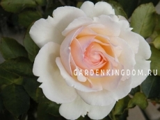 Роза плетистая PALAIS ROYAL