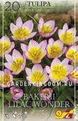 Тюльпан ботанический BAKERII LILAC WONDER, 20 шт