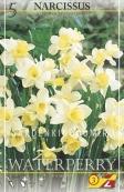 Нарцисс ботанический  WATERPERRY, 5 шт