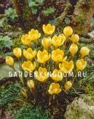 Крокус ботанический  ROMANCE, 25 шт