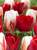 Смесь тюльпанов простых поздних SPRING LOVERS, 15 шт