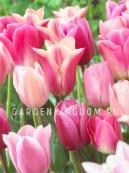 Смесь тюльпанов простых поздних  SWEET SUGAR, 15 шт