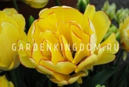Тюльпан пионовидный  AKEBONO, 3 шт