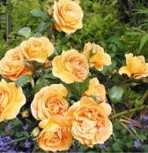 Роза флорибунда BERNSCHTEIN ROSE