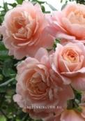 Роза флорибунда GEISHA