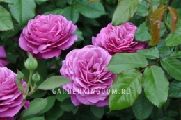 Роза флорибунда HEIDI KIUM
