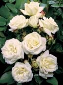 Роза флорибунда LA PALOMA 85