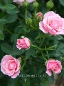 Роза миниатюрная PINK SYMPHONIE