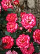 Роза миниатюрная SWEET SIMPHONI