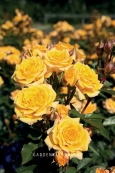 Роза миниатюрная YELLOW CLEMENTINE