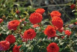 Роза миниатюрная ORANGE BABYFLOR