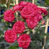 Роза плетистая STARLET ROSE LOLA