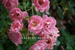 Роза почвопокровная SOMMERWIND
