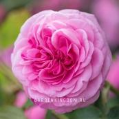 Роза парковая (грандифлора)  GARTENTRAUME
