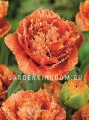 Тюльпан бахромчатый  ESPRIT, 10 шт