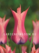 Тюльпан лилейный  YONINA, 10 шт