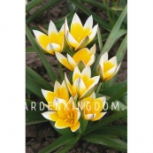 Тюльпан ботанический TARDA DASYSTEMON, 25 шт